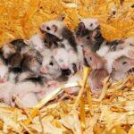 На востоке Австралии наблюдается катастрофическое нашествие мышей